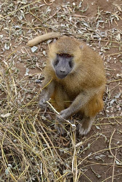 Baboon ape monkey, animals.