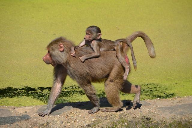 Baboon baboons zoo, animals.
