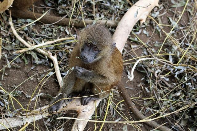Baboon baby baboon monkey, animals.