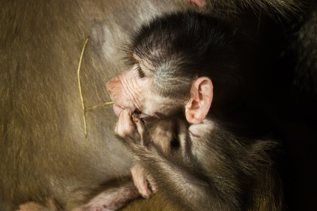 Baboon baby monkey, animals.