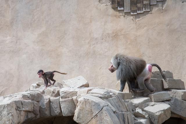 Baboon chasing run, animals.