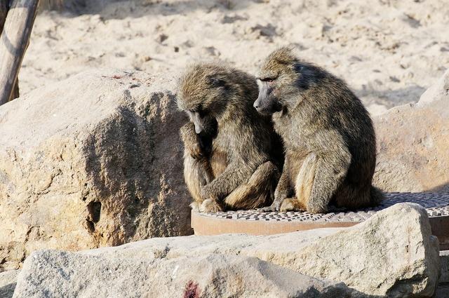 Baboon couple sitting, animals.