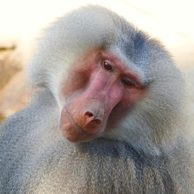 Baboon hamadryas male.