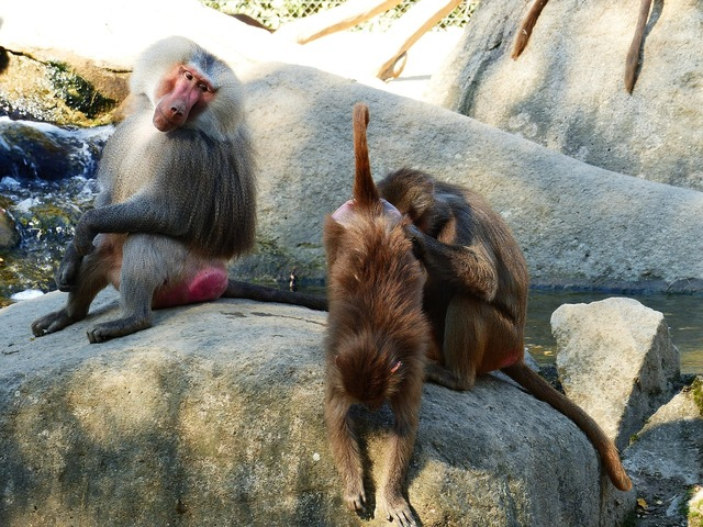 Baboon hamadryas primates.