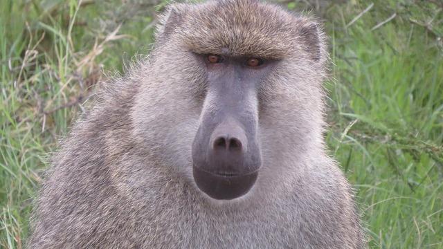 Baboon kenya africa.