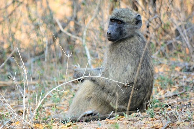 Baboon kruger park south africa wildlife, nature landscapes.