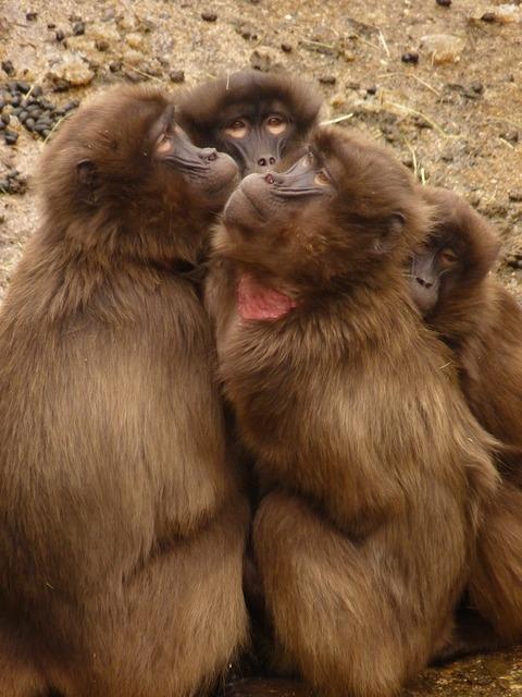 Baboon monkey animal, animals.