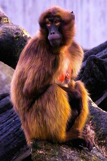 Baboon monkey animals.