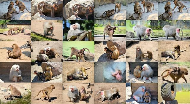 Baboon monkey ape, animals.