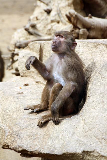 Baboon monkey baboon mono, animals.