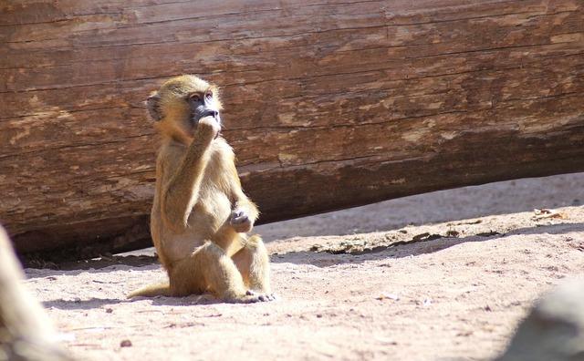 Baboon monkey baby monkey.