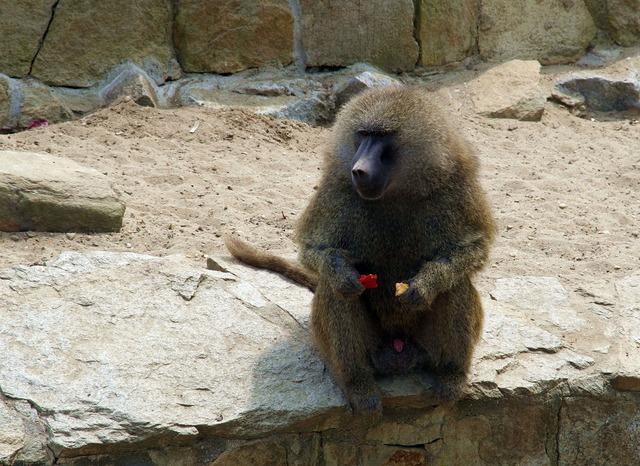 Baboon monkey mammal, animals.