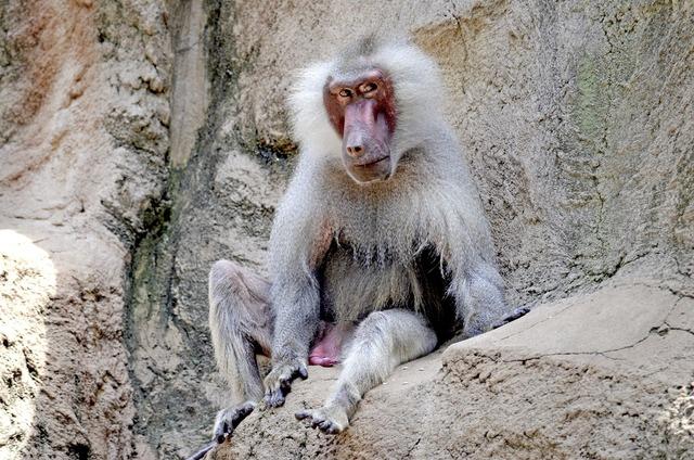 Baboon monkey old.
