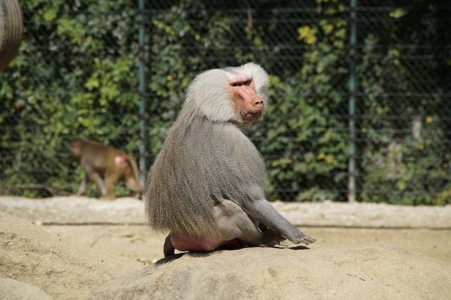 Baboon monkey old, animals.