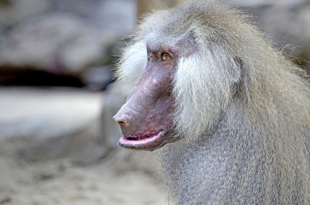 Baboon monkey old, emotions.