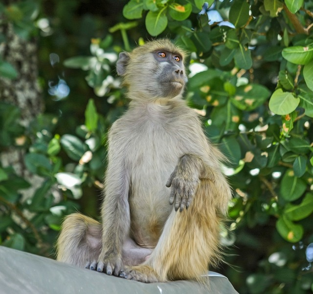 Baboon monkey primate.