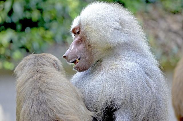 Baboon monkey sit.
