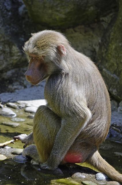 Baboon monkey sit, nature landscapes.