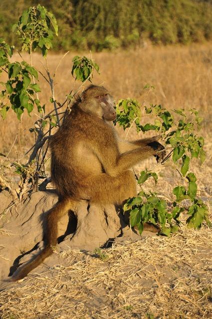 Baboon monkey sitting sitting, animals.