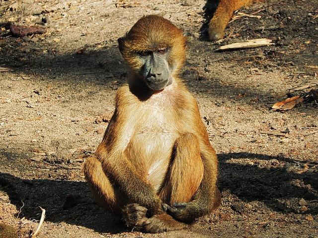 Baboon monkey wilderness.