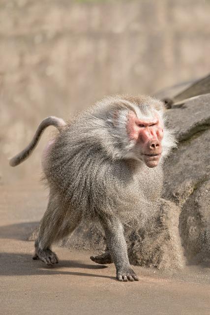 Baboon monkey zoo, animals.
