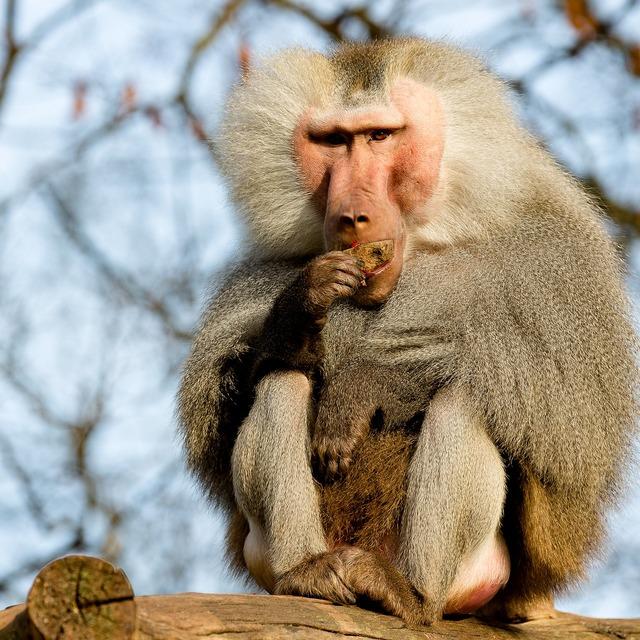 Baboon monkey zoo, food drink.