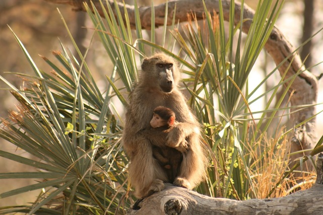 Baboon mother baby, nature landscapes.