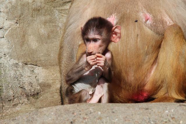 Baboon papio hamadryas baboons, animals.