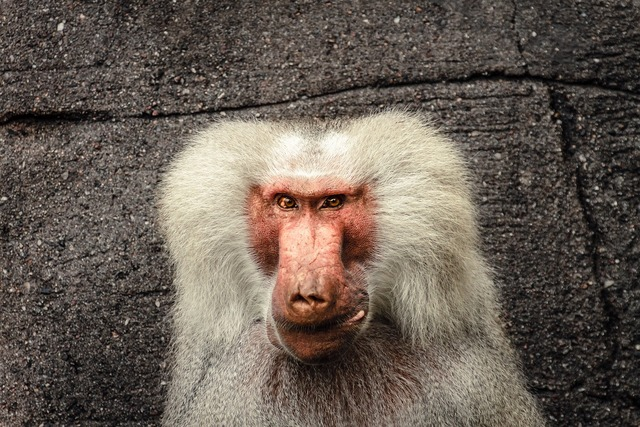 Baboon papio hamadryas.