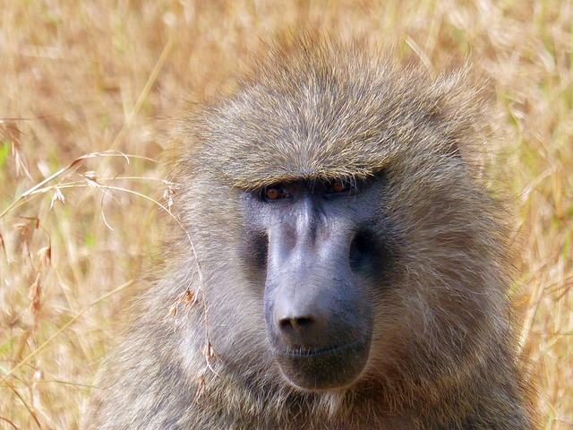 Baboon primate africa.