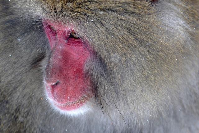 Baboon primate ape, animals.