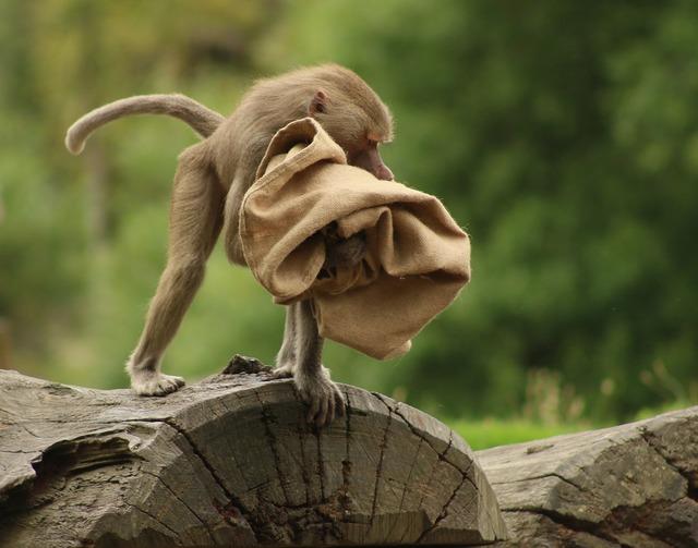 Baboon sack wood, animals.