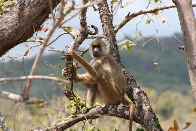 Baboon safari african, animals.