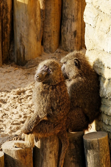 Baboon sitting log, animals.
