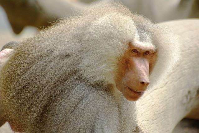 Baboon white fur, animals.