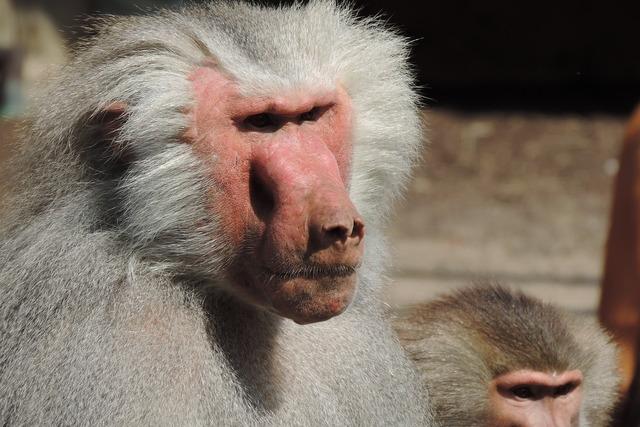 Baboon zoo augsburg enclosure.