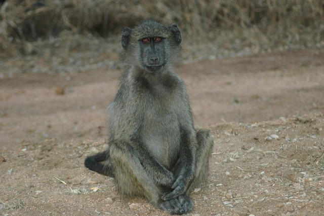 Baby baboon south africa kruger national park.