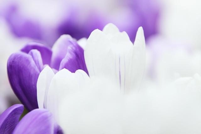 Background crocus flower, backgrounds textures.