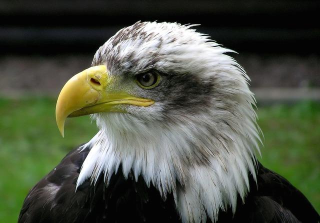 Bald eagle adler raptor, animals.