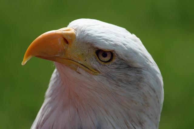 Bald eagle bill head.