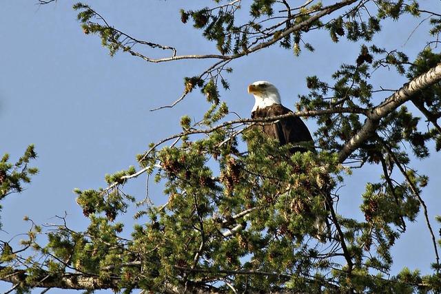 Bald eagle bird raptor, animals.
