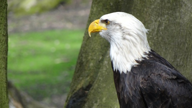 Bald eagles adler coat of arms, animals.