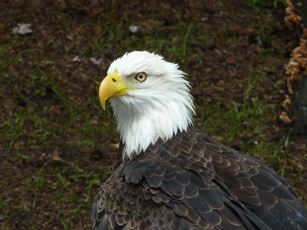 Bald eagles adler white head.