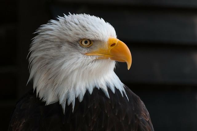 Bald eagles bald eagle bird of prey.