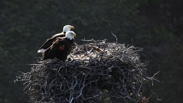 Bald eagles nest birds.