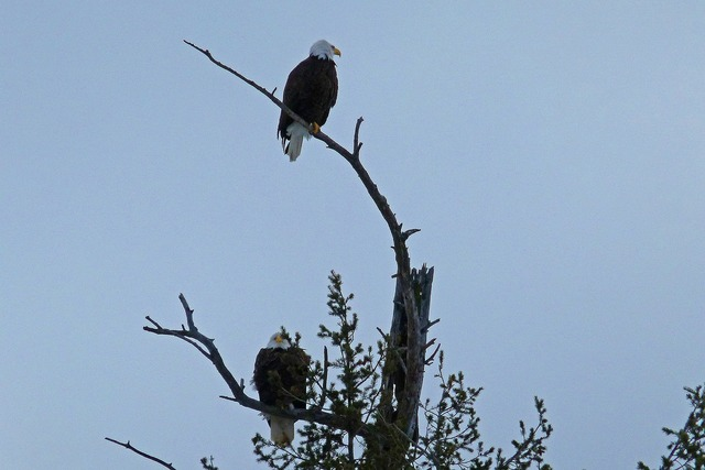 Bald eagles tree landed, nature landscapes.