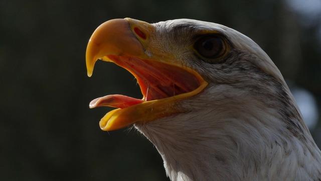 Bald eagles usa raptor, nature landscapes.
