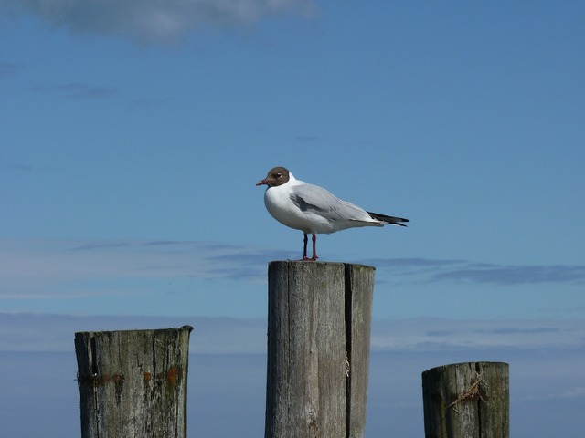 Baltic sea gull darß, travel vacation.