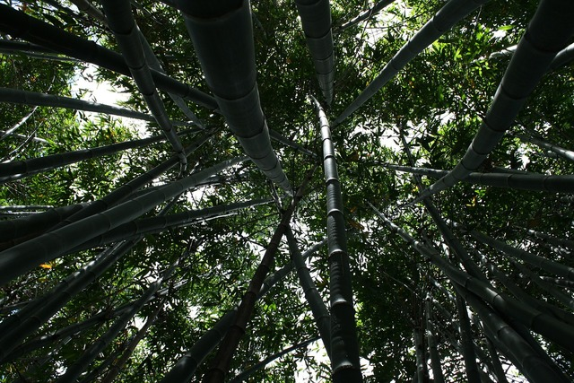 Bamboo tall plant, nature landscapes.