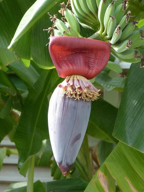 Banana blossom bloom.